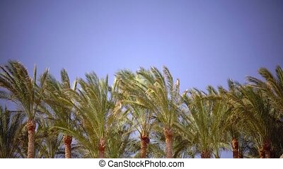 Leaves of the palm grow in the wind, glare from the bright sun. Close up