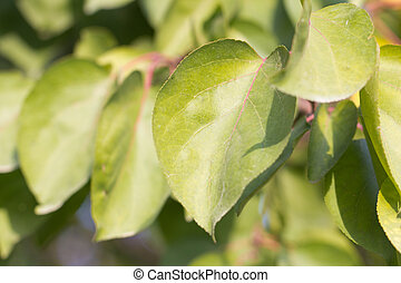 leaves of the tree