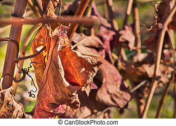 Leaves of the vineyard at the end of the season
