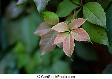 Leaves of the wild grapes on the wall background
