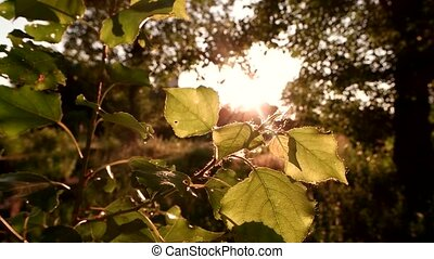 Leaves of tree in sunlight. Bright sun and nature. Silence...