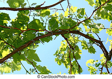 leaves of vine on the blue background of sky