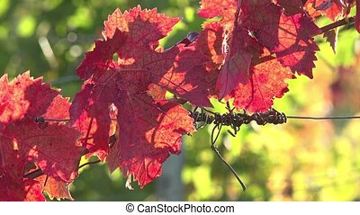 Leaves of vine, red in end of october - vineyards of the...