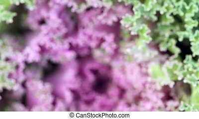 leaves of violet-green head of cabbage - viewing and...