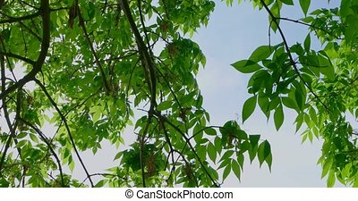 Leaves of walnut in front of sky moving slow on wind