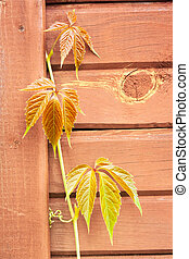 Leaves of wild grapes on a wooden wall
