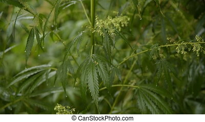 leaves of young and wild hemp swing from the wind in rainy...
