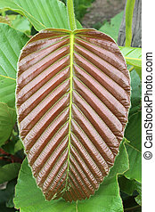 Leaves of young Dipterocarpaceae, the uppermost part of a ...