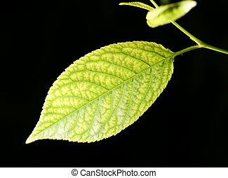 leaves on a black background. close