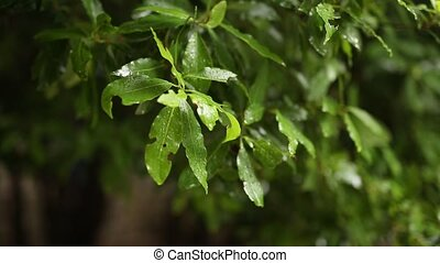 Leaves on a tree in the rain. Spring rain in Montenegro
