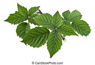 leaves on a white background. picture from series.
