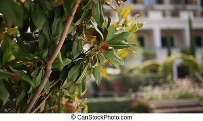 Leaves on the tree of the magnolia. Plants and trees in...