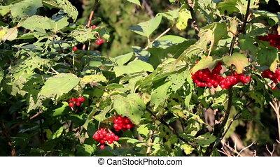Leaves on the Viburnum opulus guelder rose cherry tree has...