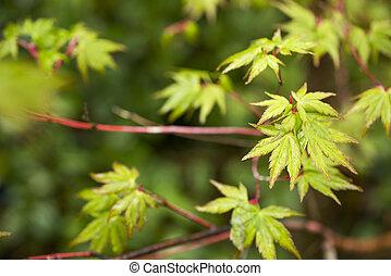 Leaves over blurs - Fresh green maple leaves (Acer palmatum)...