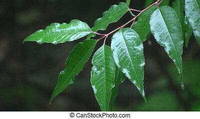 leaves., pluie
