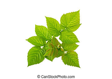 Leaves raspberry branch on a white background