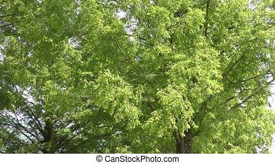 Leaves swaying in wind - Fresh green dawn redwood leaves...