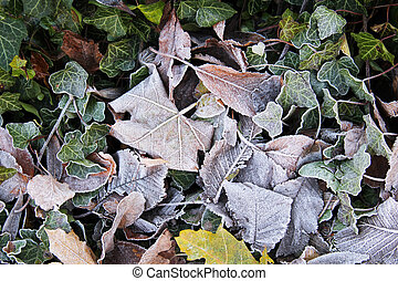 leaves with hoarfrost