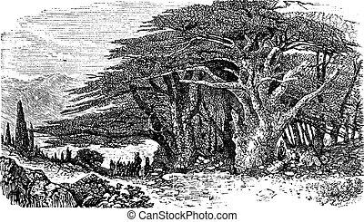 Lebanese cedar or cedar vintage engraving - Lebanese cedar...