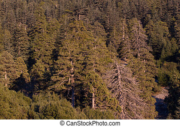 Lebanese cedar pinecone in the forest in the mountains,...