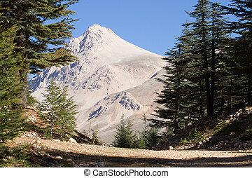 Lebanese cedar tree in the forest peak mountains - Lebanese...