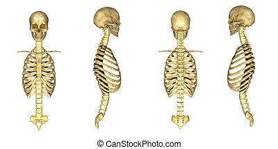 lebka, s, ribcage
