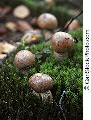 The Birch bolete (Leccinum scabrum) is an edible mushroom.