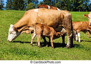 lechería, vacas, en, verano, pasto