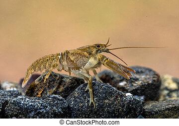 lecho, cangrejo río, rocoso, europeo