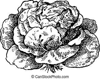 lechuga, sativa), (lactuca, vendimia, engraving.