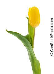 ledig, gelbe tulpe
