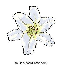 seite satz oberseite hand blumen gezeichnet wei e lilie ansicht lilie skizze satz. Black Bedroom Furniture Sets. Home Design Ideas