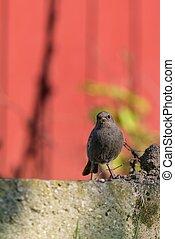 ledig, redstart, klein, vogel, steht, garten, und, aussehen, in, fotoapperat