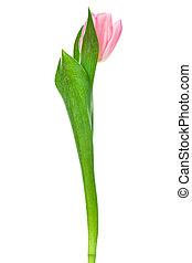ledig, rosa, tulpenblüte