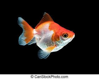 ledig, schwarz, goldfisch, weißes, färben orange, freigestellt, hintergrund