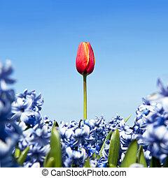 ledig, tulpenblüte
