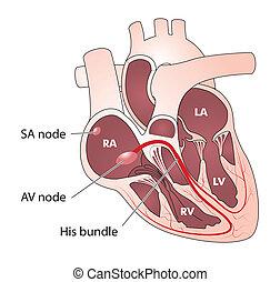ledning, elektrisk, hjärta