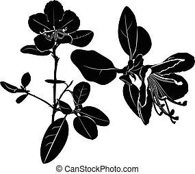 ledum. herb Wild rosemary isolated