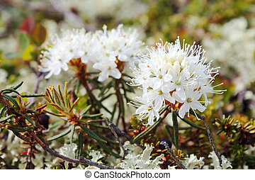 ledum, (syn., rhododendron, tomentosum