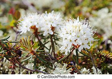 ledum, (syn., rhododendron, tomentosum