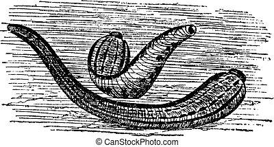 leeches, 型, 彫版