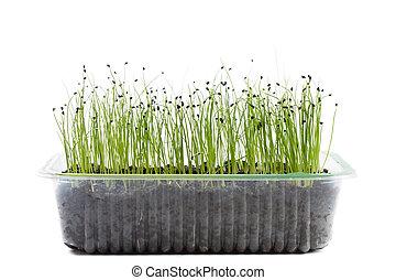 Leek seedling on a nursery