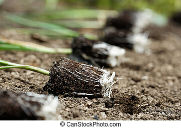 Closeup of leek seedlings lying on freshly ploughed garden bed, prepared for planting. Organic gardening, healthy food, agriculture nutrition and diet, background and concept.