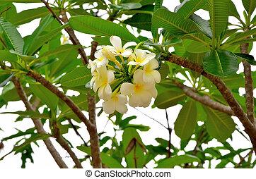 leelawadee, flor