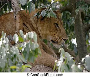 leeuw, boompje, afrikaan