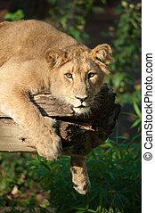 leeuw, boompje, vrouwlijk