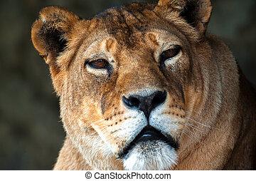 leeuw, in, de, afrikaan, savanne