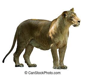 leeuw, vrouwelijke afrikaan