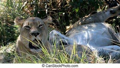 leeuw, zonder, een, manen, botswana, afrika, safari, fauna