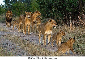 leeuwen, tanzania, park, nationale